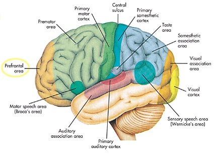 human brain areas