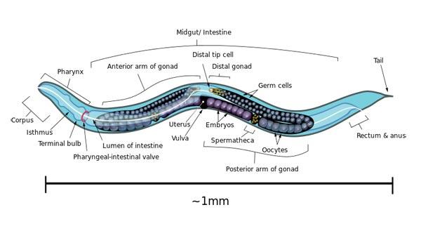 Caenorhabditis elegans (Wikipedia)